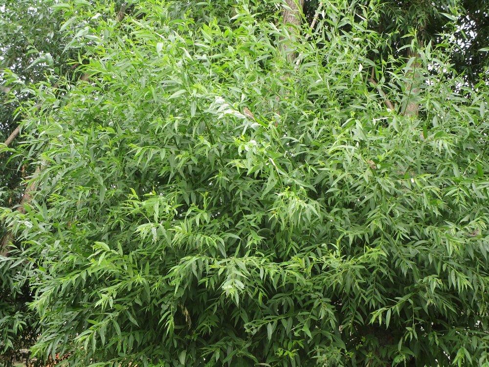 Листья ивы — описание с фото; их полезные свойства и вред; использование в кулинарии и лечении (с противопоказаниями)