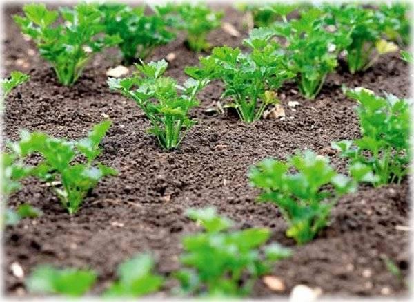 Как вырастить петрушку из семян?