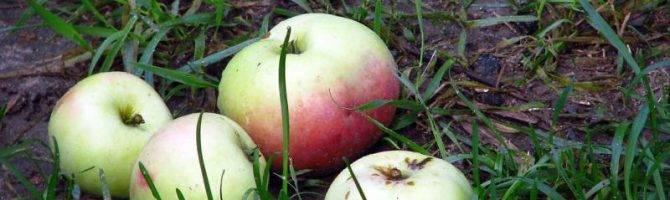 Что случилось с яблоками – определяем по урожаю