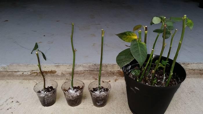 Посадка роз черенками: советы цветоводов