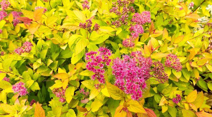 Самые морозостойкие цветущие кустарники для сада