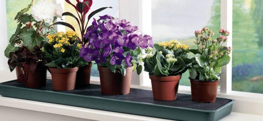 Как вырастить хорошую рассаду цветов астры из семян в домашних условиях