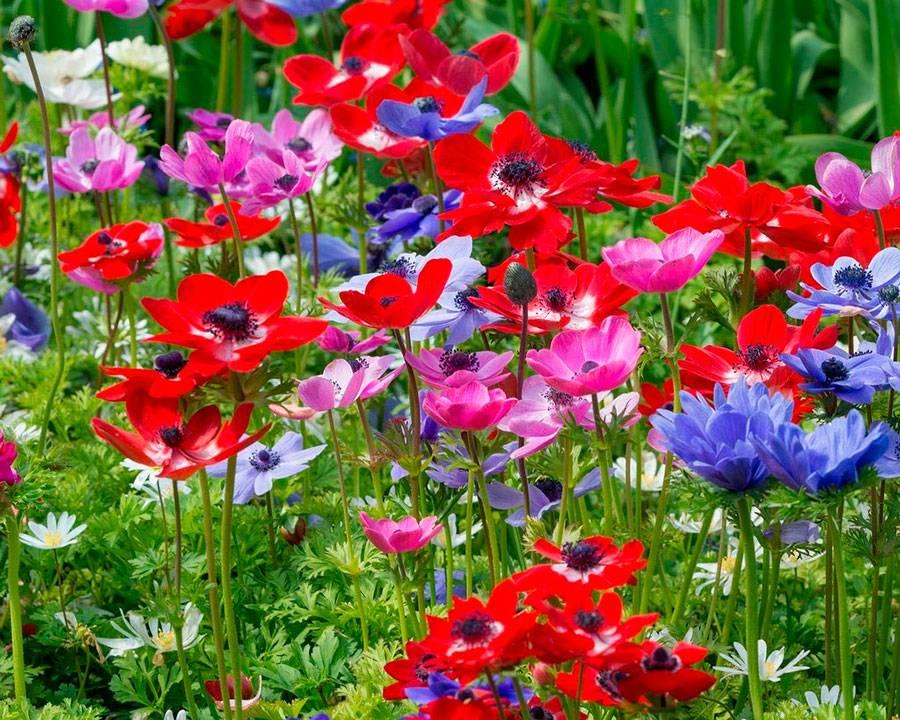 Ветреницы или анемоны: посадка и уход в открытом грунте, фото и нюансы выращивания роскошного декора для сада