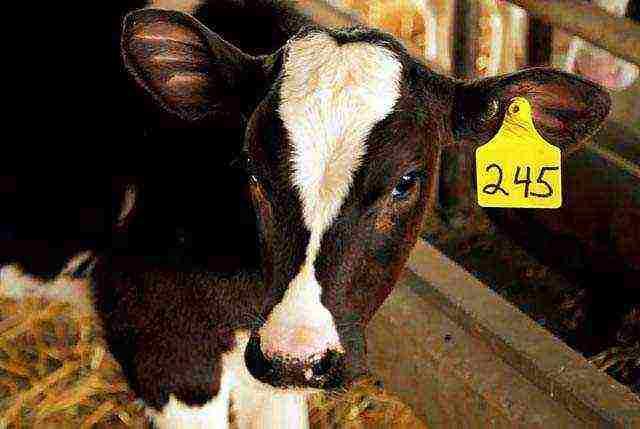 Особенности кормления бычков на мясо