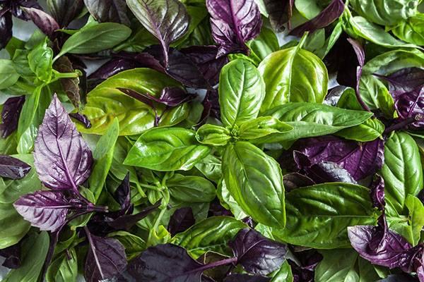 Ароматный и освежающий базилик — выращиваем на подоконнике