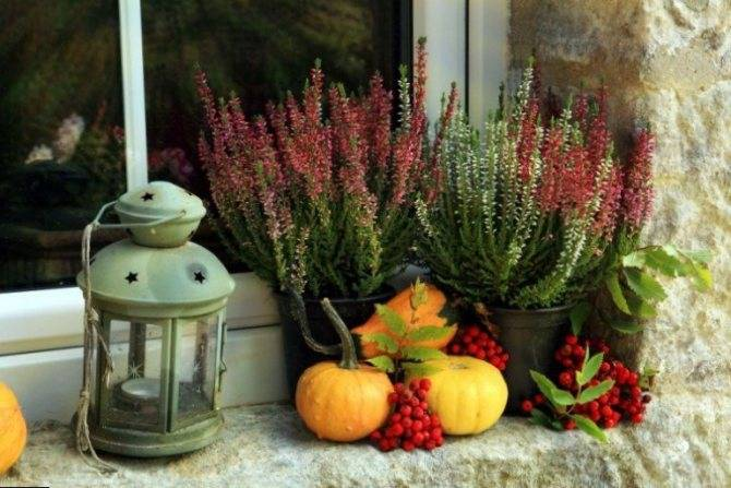 Мирт засох — как реанимировать в домашних условиях