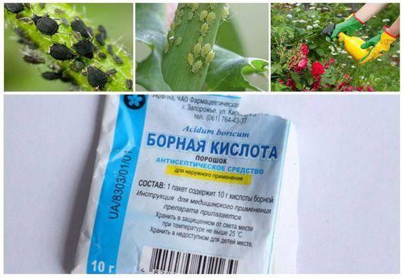 Универсальное средство — борная кислота: применение в огороде для томатов, садовых растений и комнатных цветов