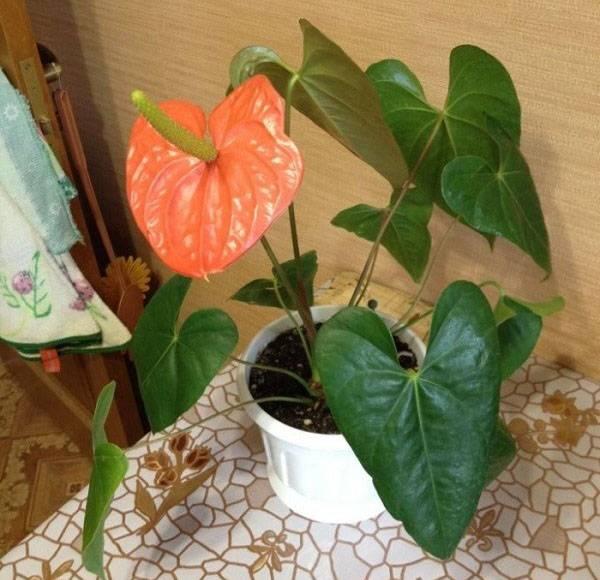 Размножаем антуриум: как посадить растение отростком?