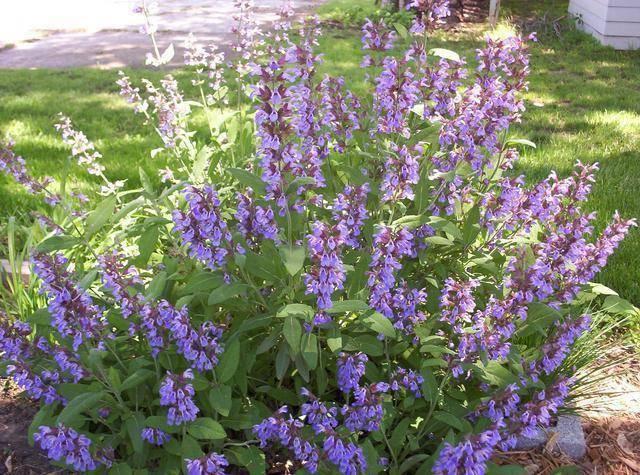 Шалфей (сальвия): посадка, выращивание и виды