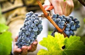 Уход за виноградом — полезные советы по выращиванию для начинающих. посадка, обрезка и размножение виноградников (95 фото и видео)