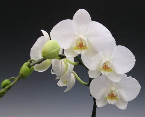 Янтарная кислота для орхидеи как удобрение: зачем и как правильно поливать