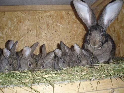 Кролики в домашних условиях: разведение и содержание в клетках