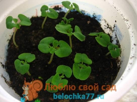 Сальвия — выращивание из семян