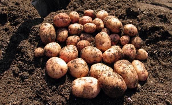 Как получить хороший урожай картофеля на своем участке даже на малой площади