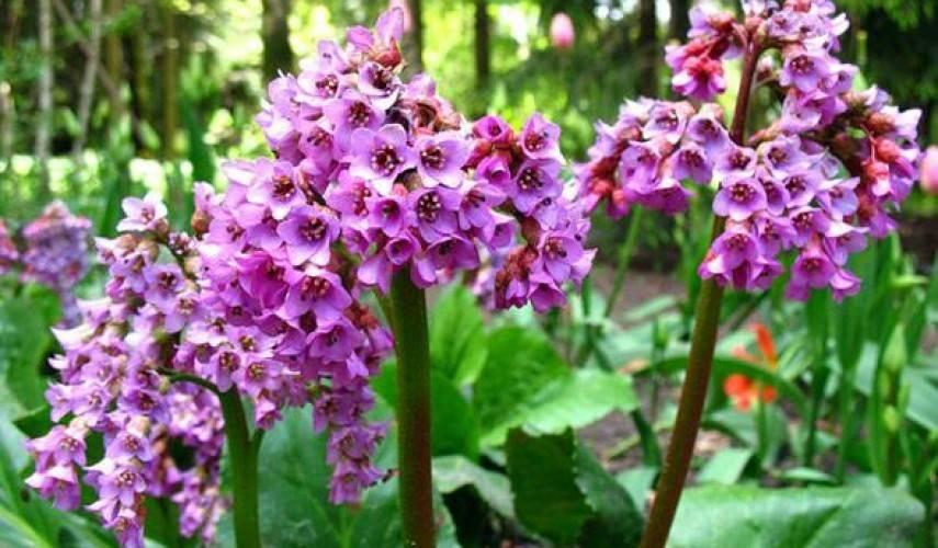 Растение бадан: посадка и уход за ним, нюансы посадки в открытый грунт, размножение и выращивание рассады