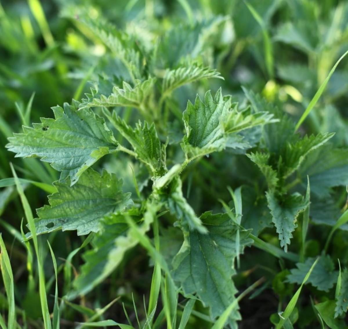 Удобрение из одуванчиков: настой для подкормки растений