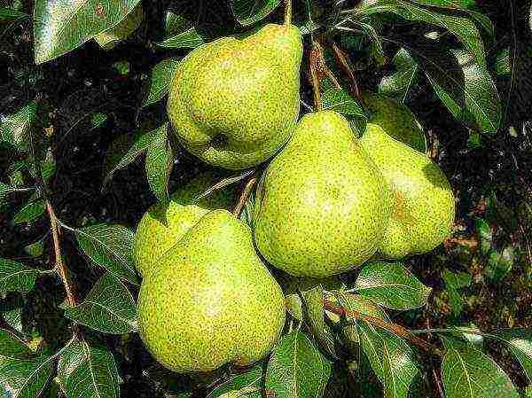 Зимние груши: лучшие сорта и особенности ухода
