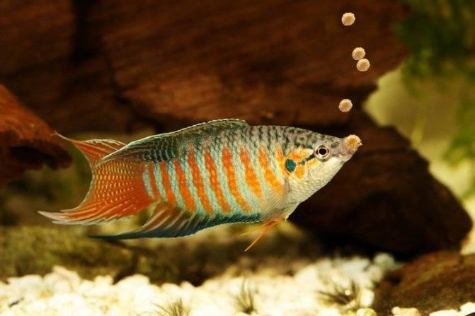 Сколько раз в день нужно кормить рыбок в аквариуме