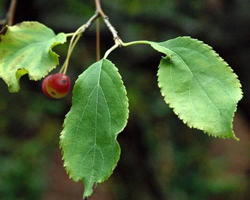 Яблочные листья: польза и вред