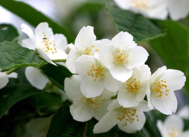 Чубушник: лучшие виды и сорта, уход и выращивание