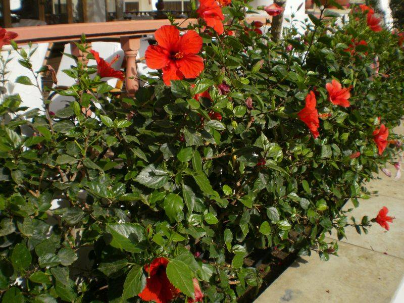 Гибискус садовый: особенности выращивания в открытом грунте