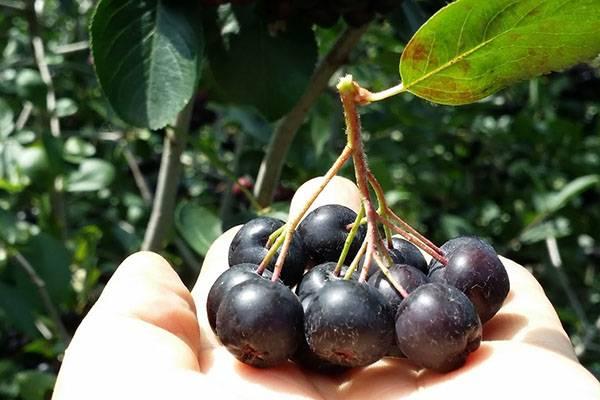 Арония черноплодная: выращивание и уход, характеристика распространённых сортов