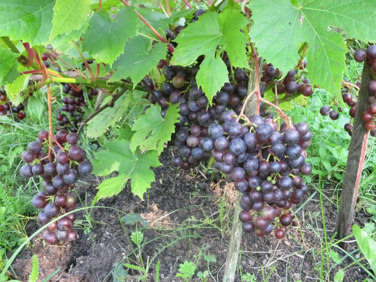 Выращивание винограда в подмосковье в открытом грунте