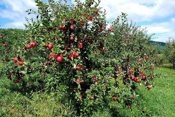 Основы планировки при обустройстве соседства плодовых деревьев и кустарников