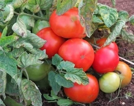 Какие сорта томатов для теплиц устойчивы к фитофторозу?