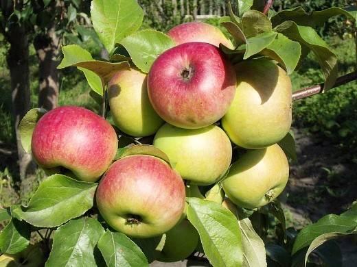 Выращивание яблонь в средней полосе россии: лучшие сорта и особенности агротехники