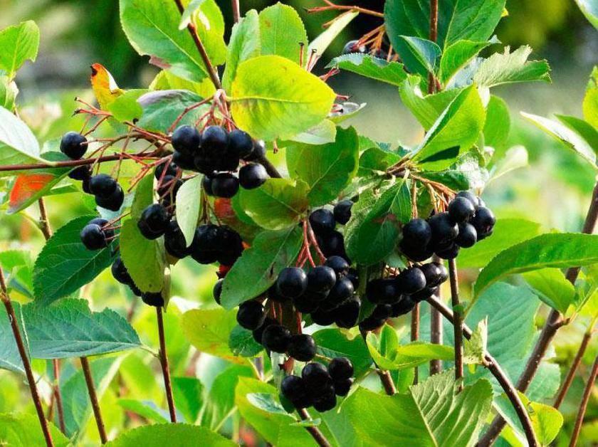 Лечебные свойства и противопоказания к употреблению черноплодной рябины