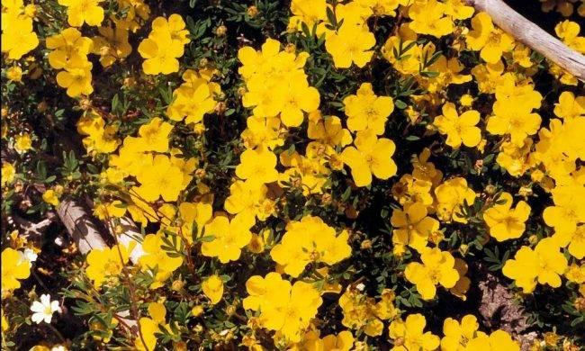 Лапчатка кустарниковая уход и выращивание обрезка и размножение
