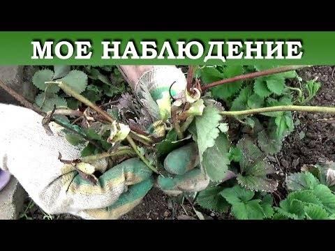 Уход за клубникой после сбора урожая— пошаговый план