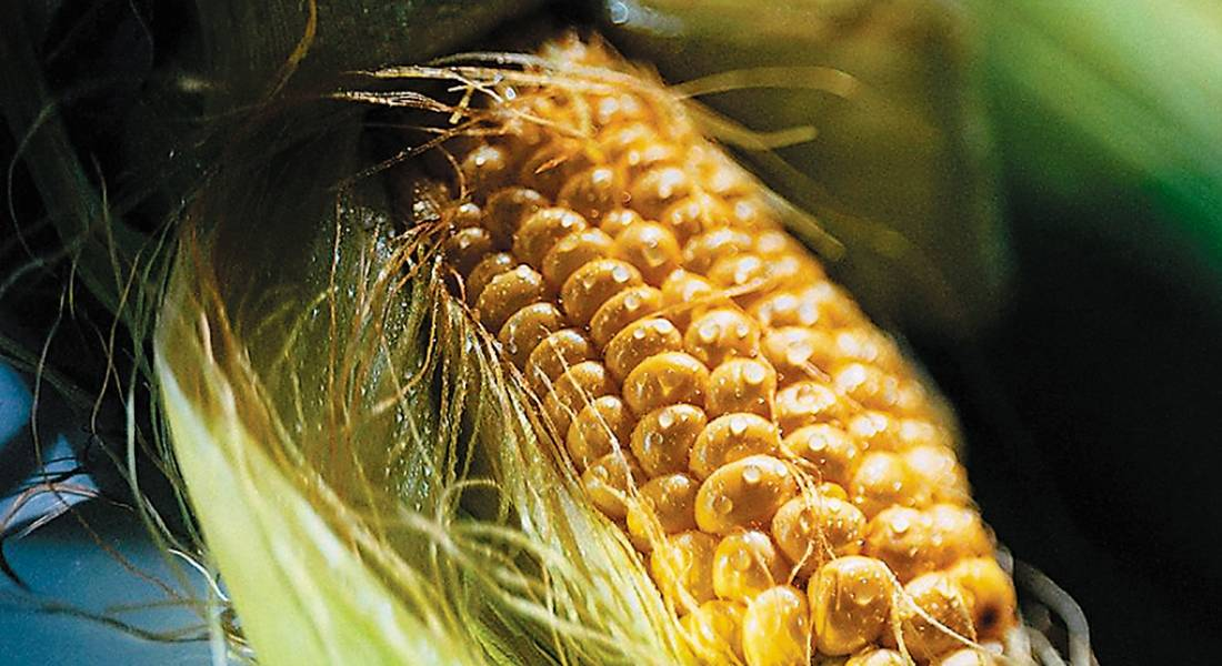 Как выращивать сахарную кукурузу сорта лакомка?