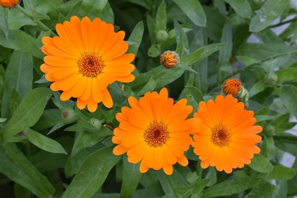 Календула - посадка в открытый грунт рассады цветов, видео