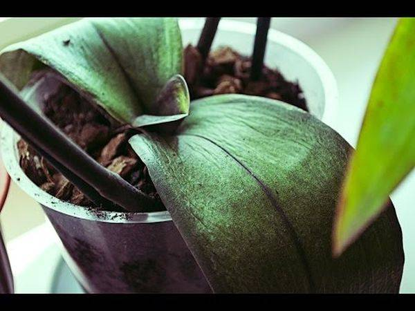Узнайте, почему у орхидеи стали мягкими листья?