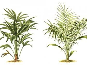 Хамедорея: тенеустойчивая пальма