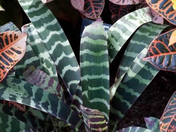 Вриезия спленриет — выращивание и уход в домашних условиях