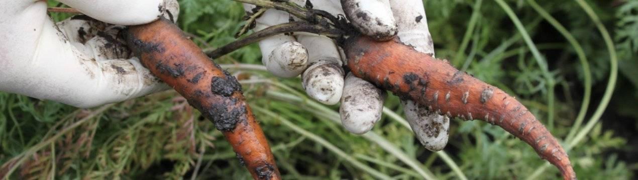 Как бороться с болезнями и вредителями на моркови при выращивании: эффективные способы и средства