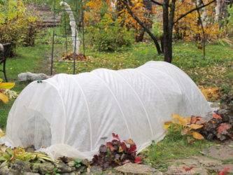 Газания (гацания) многолетняя: выращивание и сохранение