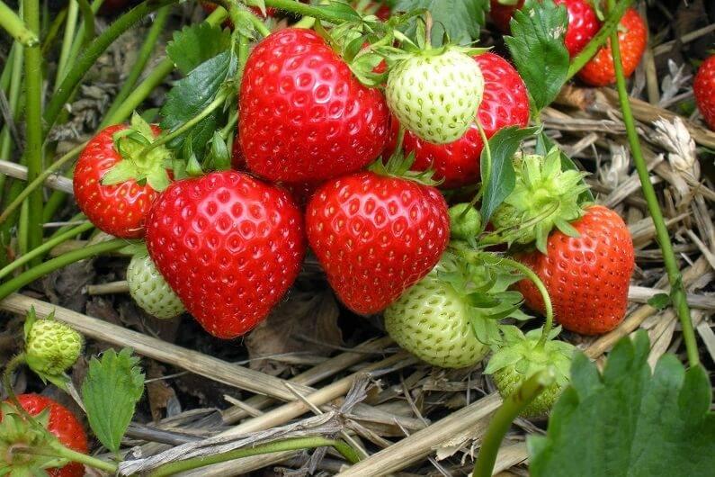 Секреты выращивания и ухода за ремонтантной земляникой