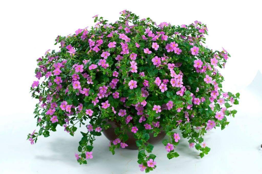 Бакопа каролинская, новое растение в домашнем аквариуме