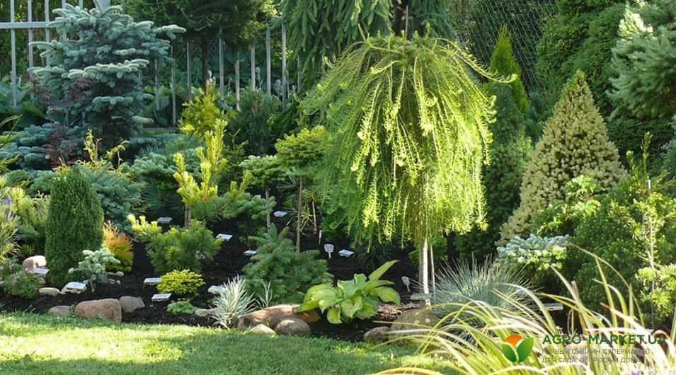 Удобрение хвойных растений весной