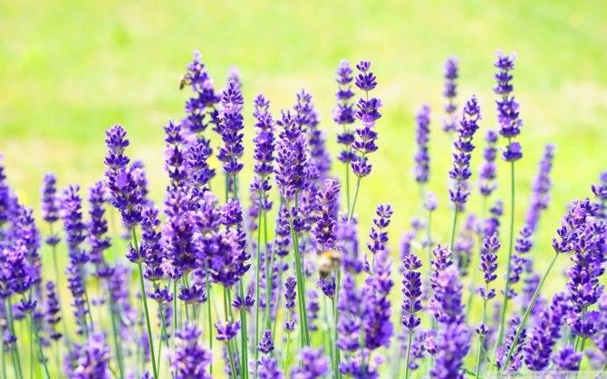 Чистец: посадка и уход в открытом грунте, выращивание в саду, виды и сорта