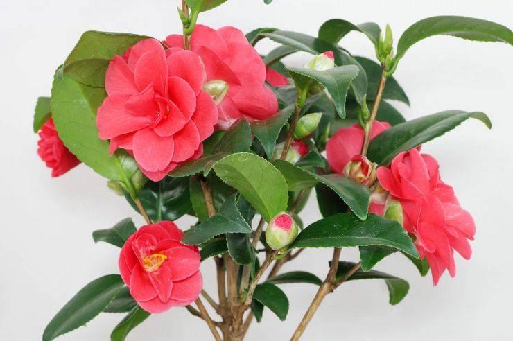 Камелия комнатный цветок — уход, выращивание и содержание в домашних условиях, фото, видео