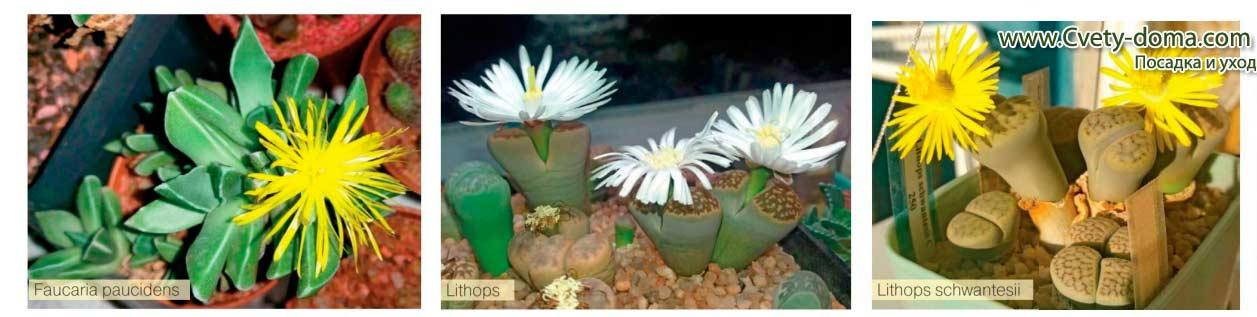 Особенности выращивания суккулента литопса из семян в домашних условиях