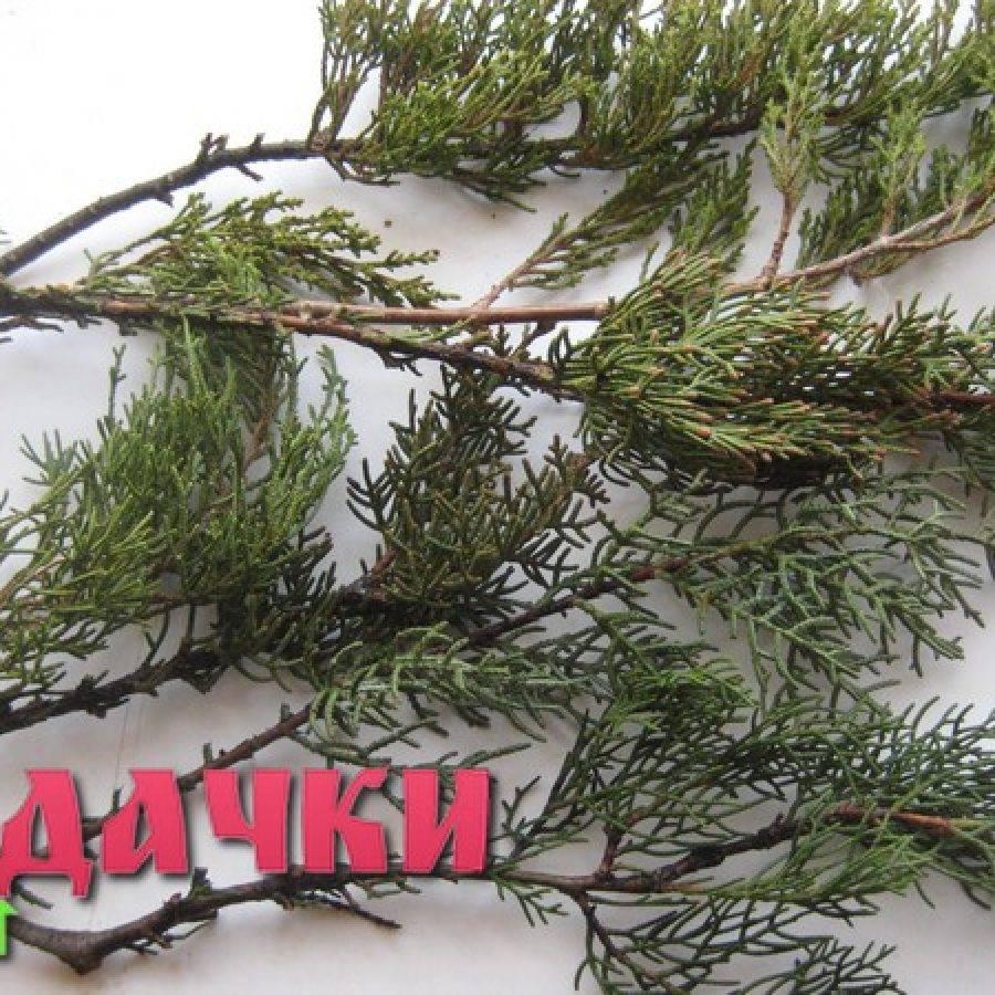 Превосходный кипарис вечнозеленый — хвойное растение с пирамидальной кроной