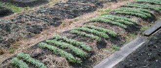 Применение растений-сидератов осенью