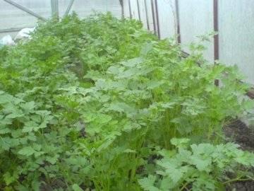 Выращивание петрушки на продажу