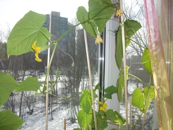 Огурцы на подоконнике зимой: лучшие сорта